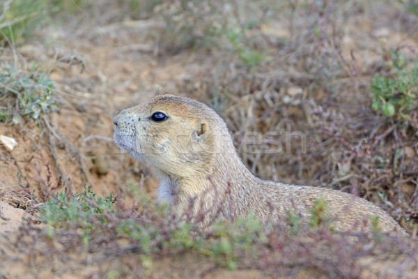 Black-tailed Prairie Dog Peeking out of its Burrow Stock photo © wildnerdpix