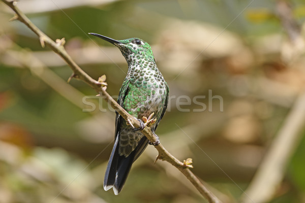 A Green Crowned Brilliant Hummingbird Stock photo © wildnerdpix