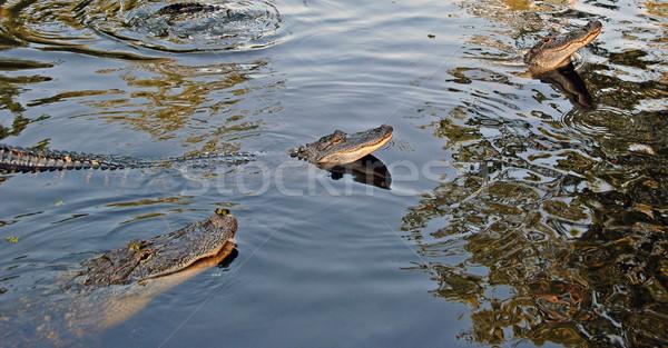 Aligatory południowy wschód New Orleans wody charakter bagno Zdjęcia stock © wildnerdpix