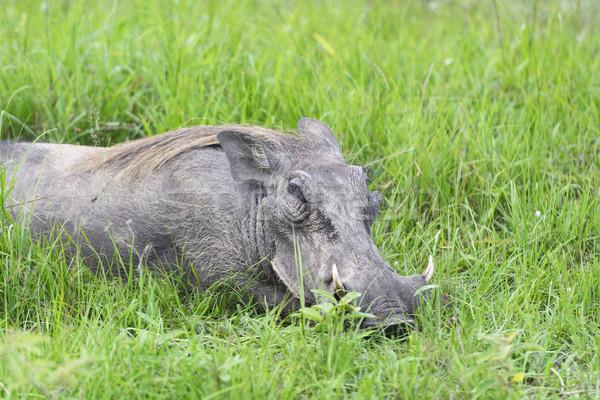 Common Warthog Resting in the Grass Stock photo © wildnerdpix