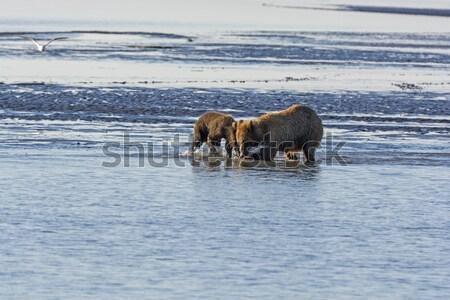 Bear and the Gulls Stock photo © wildnerdpix