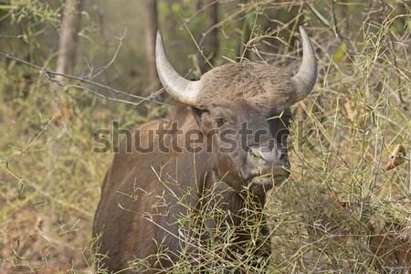 Gaur in the Forest Stock photo © wildnerdpix