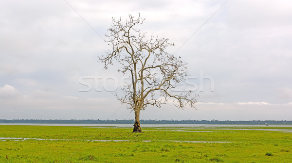 Lone Tree on a Wetland Marsh Stock photo © wildnerdpix