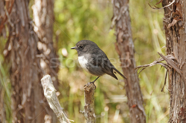 New Zealand Robin in the wilds Stock photo © wildnerdpix