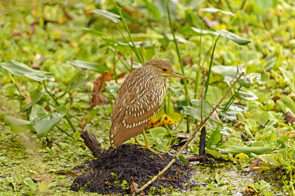 Immature Black-Crowned Night Heron in a swamp Stock photo © wildnerdpix