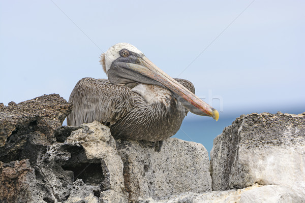 Brown Pelican Perched on a Rock Showing its Inner Eyelid Stock photo © wildnerdpix