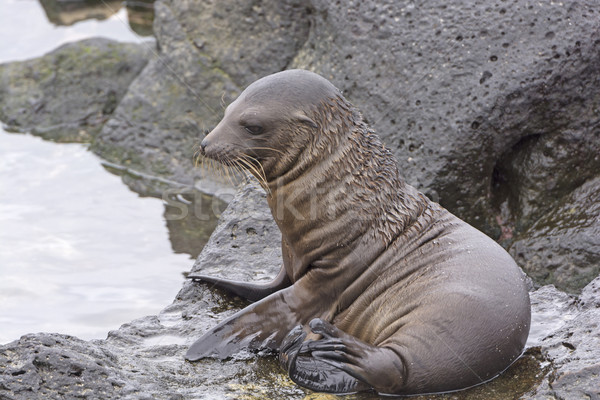 Baby Sea Lion on the Rocks Stock photo © wildnerdpix