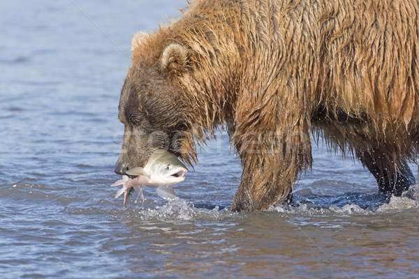 Grizzly Bear with a Fish in His Mouth Stock photo © wildnerdpix