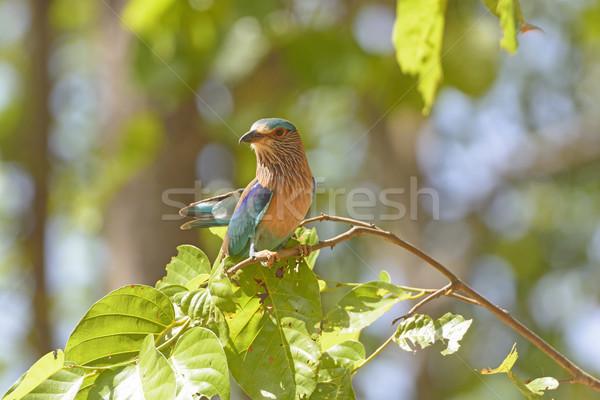 Hint ağaç park Hindistan kuş hayvan Stok fotoğraf © wildnerdpix
