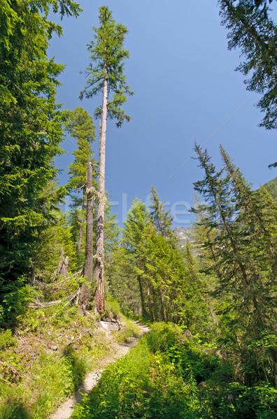 Egyedüli fenyőfa hegy nyom fa tó Stock fotó © wildnerdpix