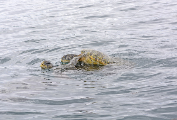 Galapagos Sea Turtles Mating in the Ocean Stock photo © wildnerdpix