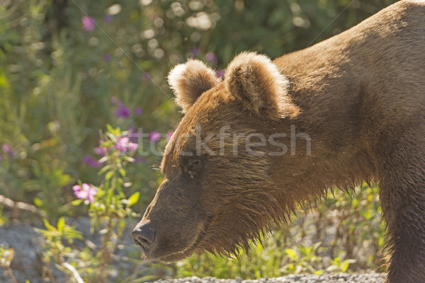 Grizzly Bear in the Wilds Stock photo © wildnerdpix
