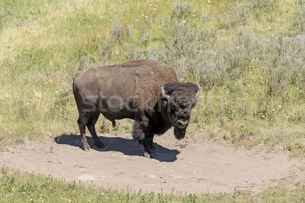 Bison on Remote Prairie Stock photo © wildnerdpix