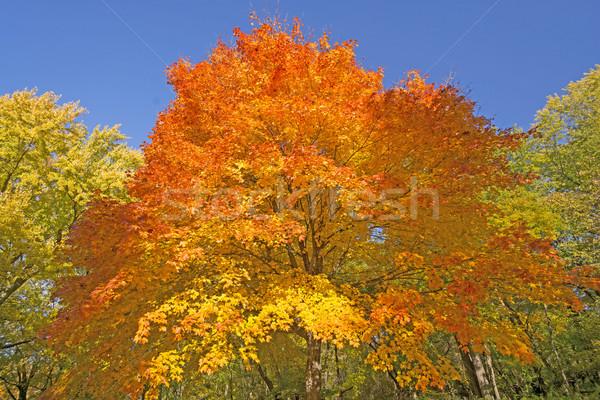 Orange and Yellow on an Autumn Tree Stock photo © wildnerdpix