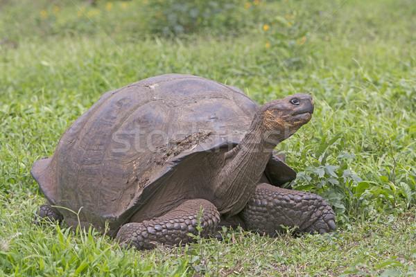 óriás teknősbéka mező mikulás természet biológia Stock fotó © wildnerdpix