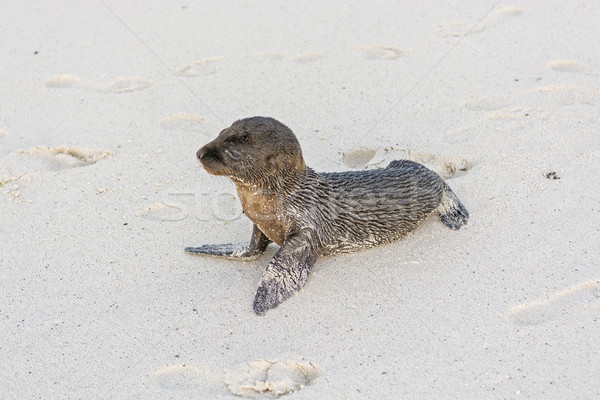 Lonely Baby Sea Lion on the Beach Stock photo © wildnerdpix