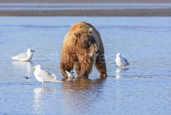 Tenha assistindo concorrentes alimentação parque Alasca Foto stock © wildnerdpix