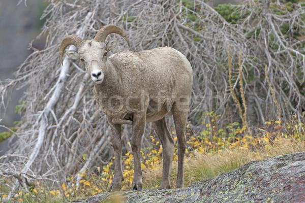 Young Bighorn Sheep in the Mountain Stock photo © wildnerdpix