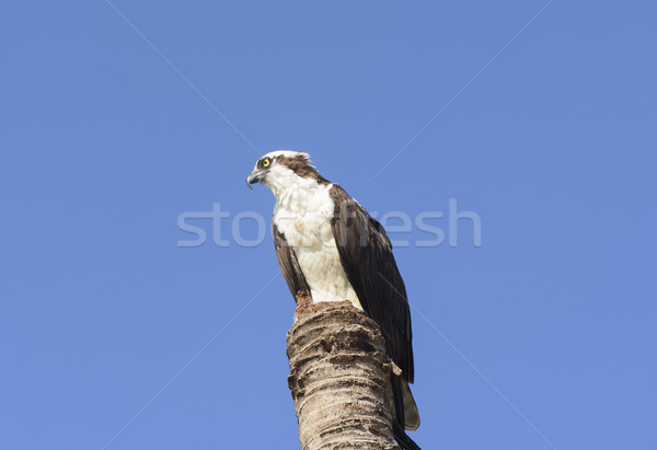 Osprey in the Wilderness Stock photo © wildnerdpix