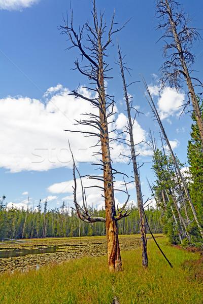 Distinctive Tree Trunk by a Wilderness Pond Stock photo © wildnerdpix