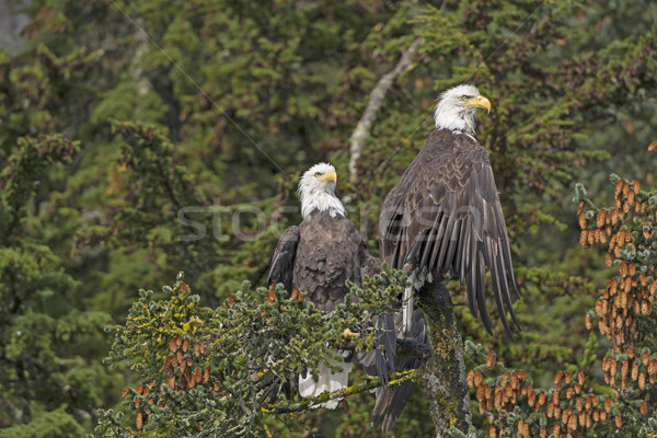Two Bald Eagles in a Spruce Tree Stock photo © wildnerdpix