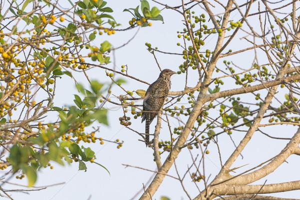 Asiático árvore parque Índia pássaro Ásia Foto stock © wildnerdpix