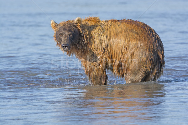Grizzly Dripping from Fishing in the Water Stock photo © wildnerdpix