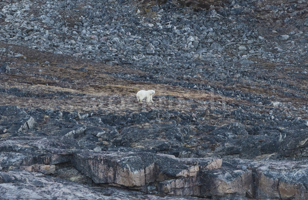 Polar Bear on an Arctic Coast Stock photo © wildnerdpix
