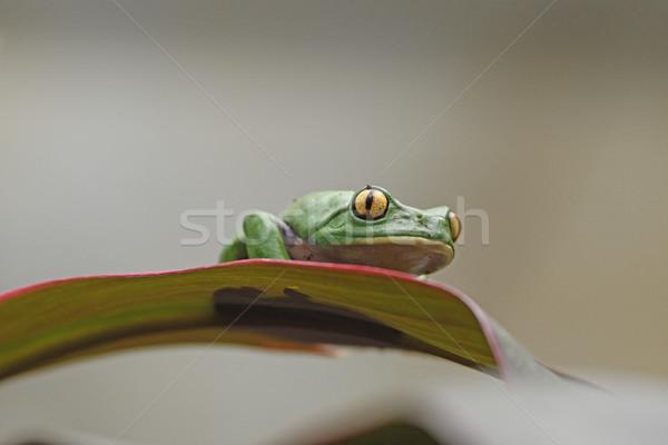 Golden-Eyed Leaf Frog on a Leaf Stock photo © wildnerdpix