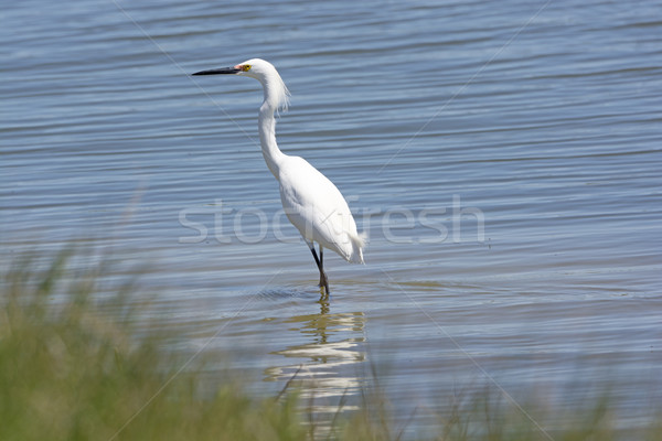 Stock photo: Snowy Egret in a Wetland Pond