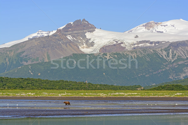 Grizzly Bear Bear Walking on a Tidal Flat Beneath the Mountains Stock photo © wildnerdpix