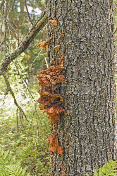 Drzewo grzyb lasu półwysep Alaska Zdjęcia stock © wildnerdpix