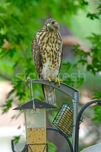 Pássaro falcão sessão quintal ao ar livre Illinois Foto stock © wildnerdpix