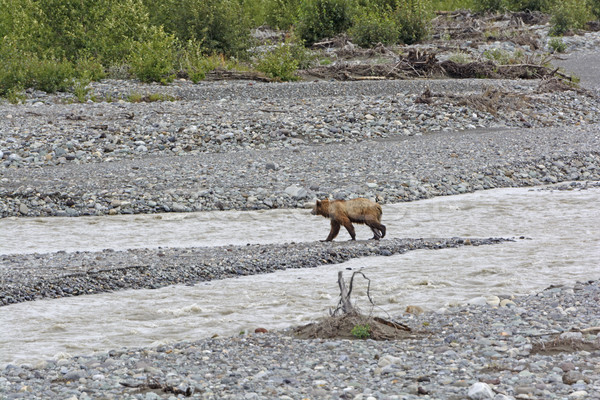 Grizzly Bear Crossing a Wilderness River Stock photo © wildnerdpix