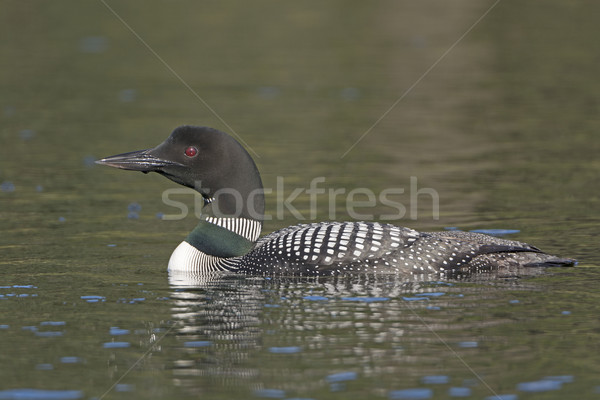 Common Loon in the Wilderness Stock photo © wildnerdpix