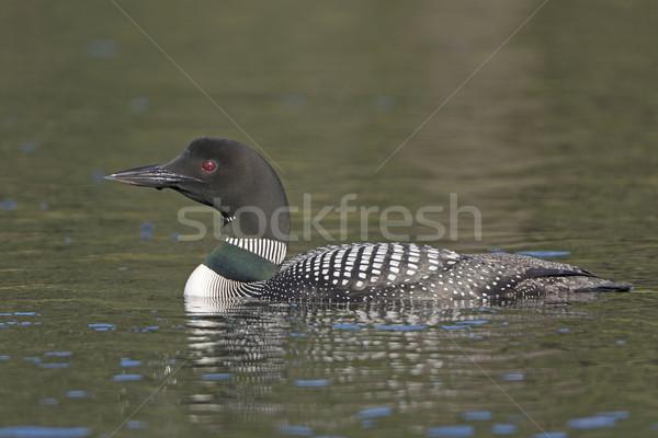 озеро живая природа птица биологии удаленных Сток-фото © wildnerdpix