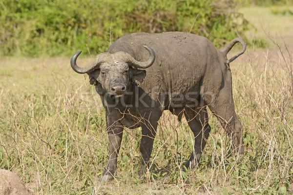 Cape Buffalo in the Veldt Stock photo © wildnerdpix
