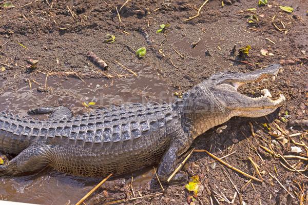 Aligator otwarte usta zwierząt biologii zdalnego Zdjęcia stock © wildnerdpix