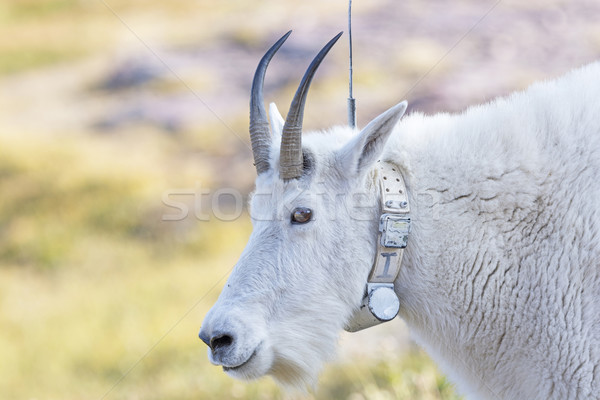 Mountain Goat with a Radio tracking Collar Stock photo © wildnerdpix