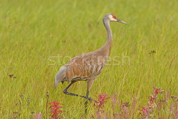 Stock photo: Sandhill Crane in a Meadow