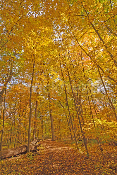Automne arbre chemin forêt nature jaune Photo stock © wildnerdpix