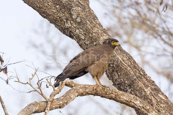 Crested Serpent Eagle in a Tree Stock photo © wildnerdpix