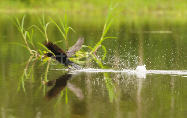 Anhinga taking off with a fish in its mouth Stock photo © wildnerdpix