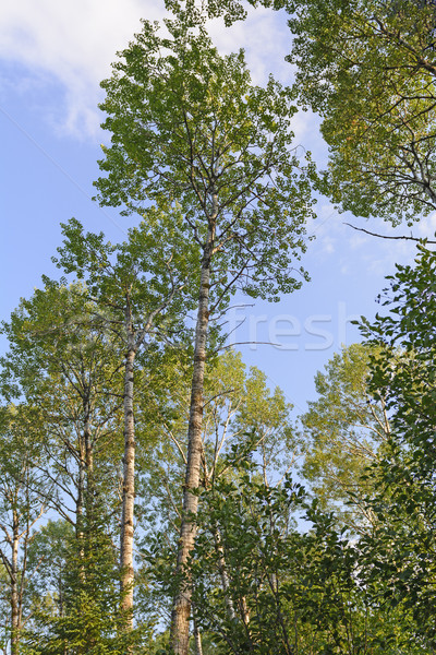 Bianco betulla alberi cielo cielo blu biologia Foto d'archivio © wildnerdpix
