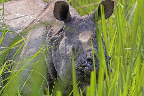 Stock photo: Rhino Peeking through the Grasses