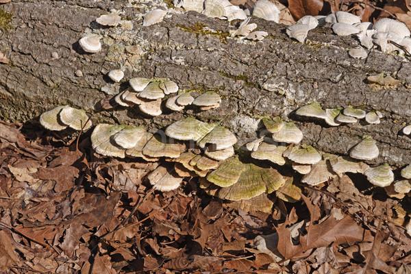 árvore fungo floresta biologia remoto bastante Foto stock © wildnerdpix