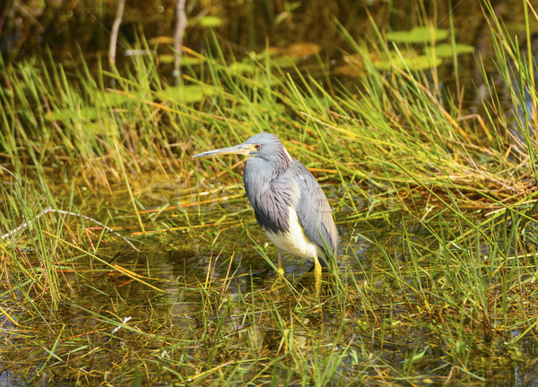 Tricolored Heron in teh Swamp Stock photo © wildnerdpix