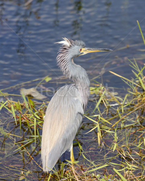 Tricolored Heron in a Wetland Stock photo © wildnerdpix