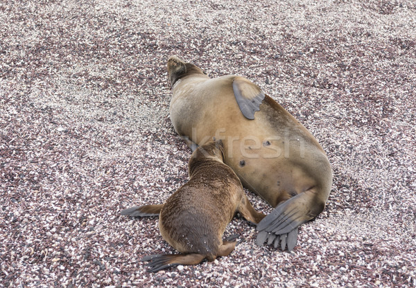 Baby Galapagos Sea Lion Nursing Stock photo © wildnerdpix