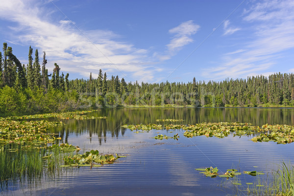 Sun and Lily Pads in the Wilds Stock photo © wildnerdpix